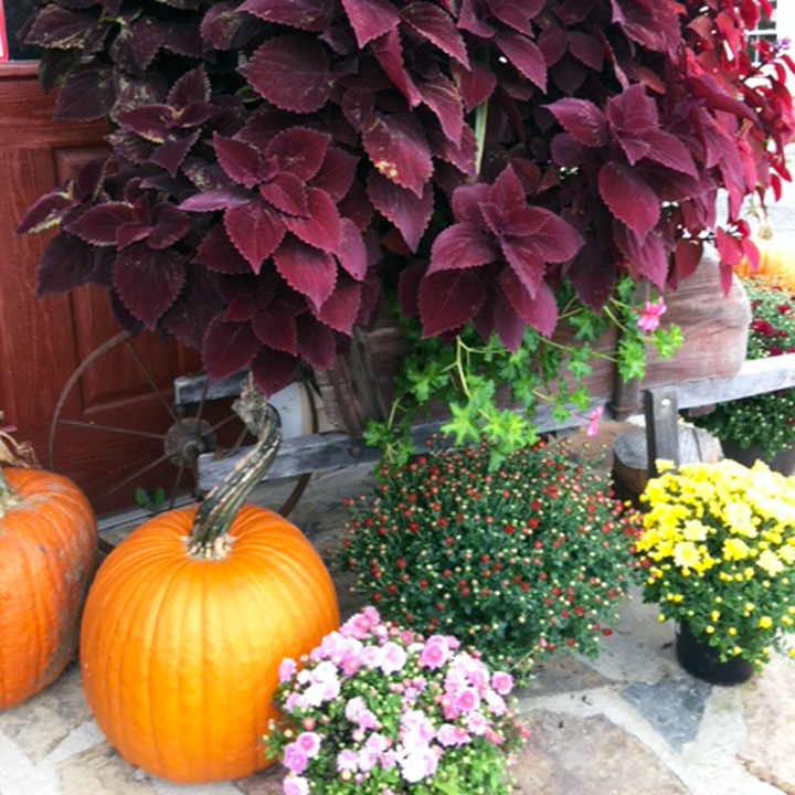 Mums, asters, pumpkins and other fall plants at Breezy Acres in St. Albans