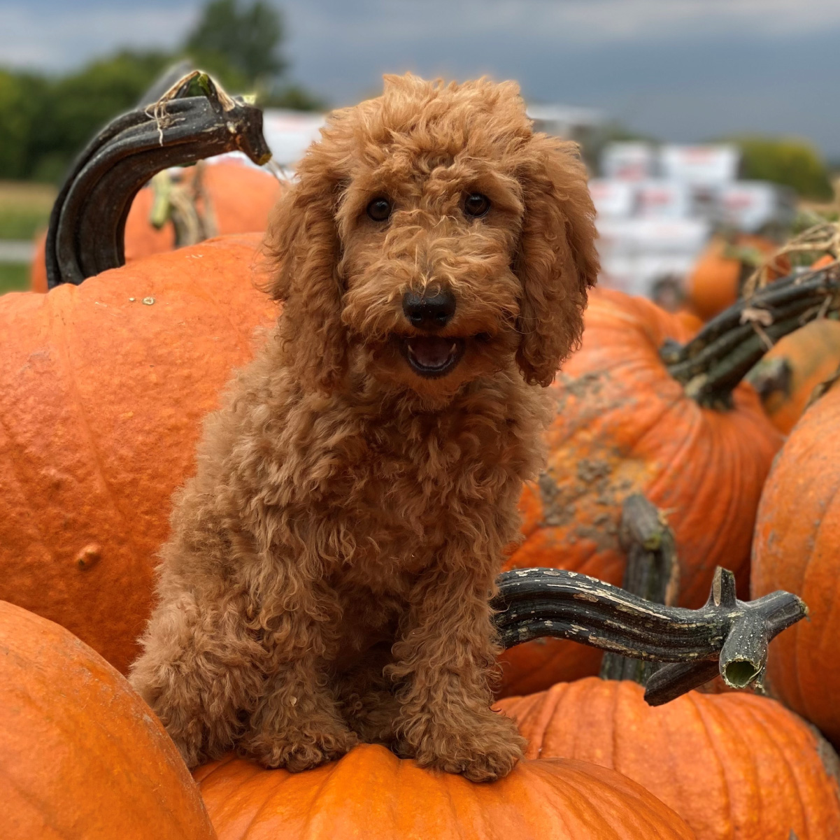 Puppy on Pumpkins at Breezy Acrs in VT